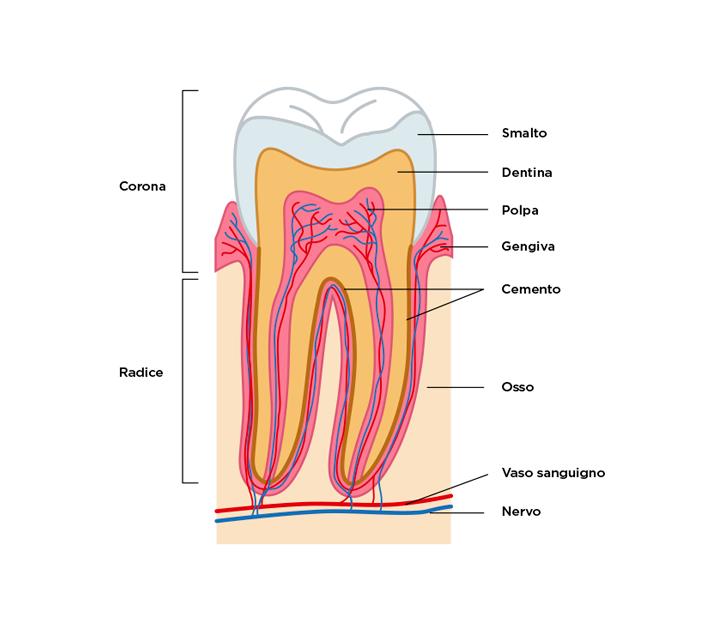 Com'è fatto un dente